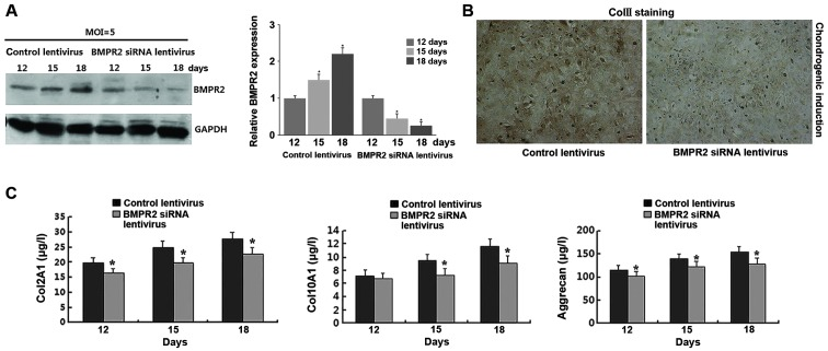 Functional role of bone morphogenetic protein receptor type 2 (BMPR2) in the chondrogenic differentation of human adipose-derived stem cells (hADSCs). (A) hADSCs were infected with BMPR2 siRNA lentivirus and the expression of BMPR2 protein expression was detected following the induction of chondrogenic differentation on days 12, 15 and 18. (B) The expression level of collagen type II (ColII) was detected with immunohistochemical analysis on day 18 after the induction of chondrogenic differentation. (C) Cells were infected with BMPR2 siRNA lentivirus and the concentration of collagen, type II, alpha 1 (Col2A1), collagen, type X, alpha 1 (Col10A1) and aggrecan was detected following the induction of chondrogenic differentation on days 12, 15 and 18 by ELISA.