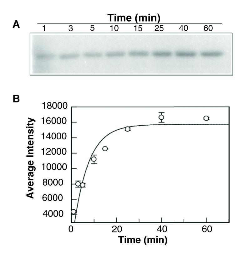 Autophosphorylation of BceS. ( A ) GST-BceS (5 µM) was incubated with [γ- 32 P] ATP (1 mM) in 50 mM Tris, 50 mM KCl, 20 mM CaCl 2 , and 5 mM MgCl 2 (pH 7.4). Reactions were quenched at different incubation times and analyzed by 12.5% SDS-PAGE. ( B ) The experimental data obtained in ( A ) were quantified using ImageJ and plotted against the incubation time (the error bars represent the standard deviations calculated from three independent experiments). The data were fitted to the equation given in the Experimental Section.