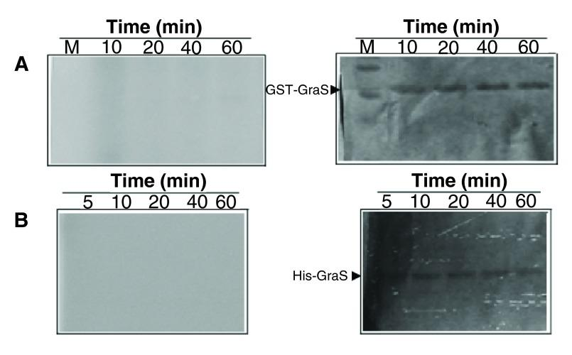 Attempted autophosphorylation of GraS. ( A ) GST-GraS (5 µM) in 50 mM Tris, 50 mM KCl, 10 mM CaCl 2 , and 5 mM MgCl 2 (pH 7.4) was incubated with 10 µM γ- 32 P-ATP. The reaction was quenched at different time intervals. ( B ) Autophosphorylation of His-GraS under the same conditions as in ( A ). Left panel represent phosphor imaging and right panels represent the Coomassie staining of the SDS-PAGE gels.