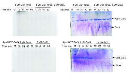 Attempt to phosphorylate GST-GraS in the presence of GraX. GST-GraS 5 µM alone or along with 2 or 5 µM GraX was incubated at room temperature for 30 min before adding [γ- 32 P] ATP. GraX (5 µM) was used as control. Reactions were quenched at different time intervals and analyzed by 12.5% SDS-PAGE. On left side are shown the radiogram images of the SDS-PAGE and on the right the Coomassie stained images of the SDS-PAGE.