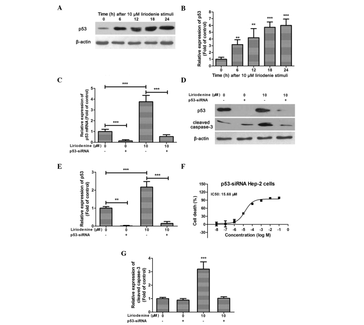 Downregulation of p53 expression suppresses the pro-apoptotic effect of liriodenine. (A) Western blot analysis revealing the expression of p53 at different times following treatment with 10 μM liriodenine. <t>β-actin</t> was used as the internal control. Blots were repeated at least three times for statistical analysis. (B) Statistical analysis of p53 expression at different times following treatment with 10 μm liriodenine. ** P