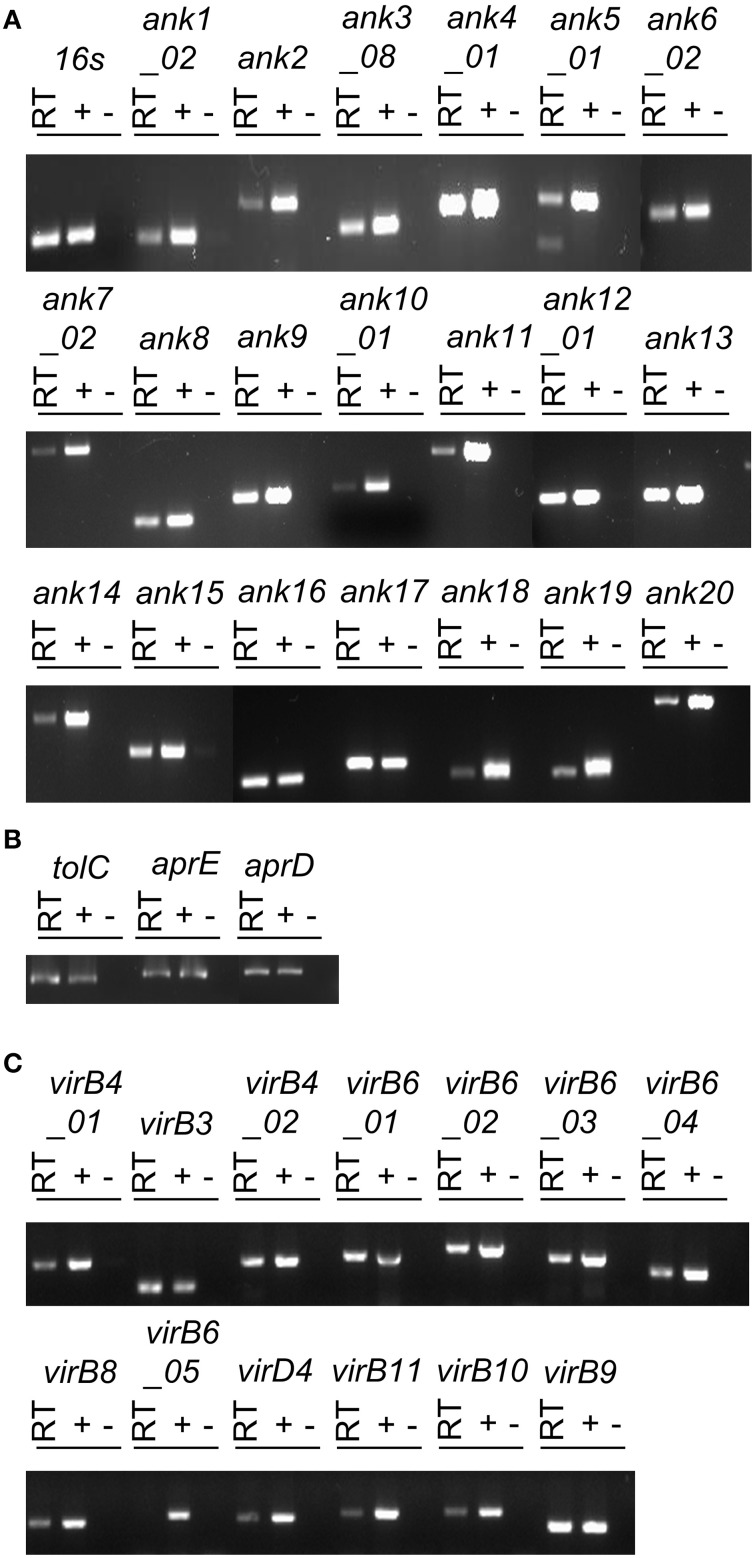 O. tsutsugamushi transcriptionally expresses Ank, T1SS, and T4SS genes during infection of mammalian host cells . RT-PCR using primers targeting genes encoding O. tsutsugamushi Anks (A) , T1SS components (B) , T4SS components (C) , and the 16S rRNA gene (infection control) (A) was performed on DNA-free total RNA isolated from infected L929 cells (RT lanes). O. tsutsugamushi genomic DNA and water served as positive (+) and negative (−) controls, respectively. Results are representative of two experiments with similar results.