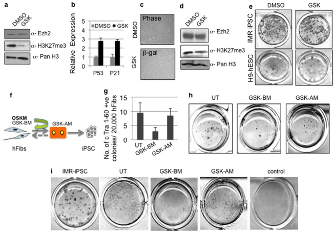 Inhibition of H3K27me3 activity impairs mesenchymal to epithelial transition during iPSC generation. (a) Western blot analysis using anti Ezh2, anti-H3K27Me3 and control anti-pan H3 antibodies in hFibs treated with H3K27me3 inhibitor GSK-126. Uncropped/Full blots images are provided in Supplementary Fig. 6 a-c . (b) Relative expression of p53 and p21 mRNA in DMSO control and GSK treated hFibs. (c) Representative bright field and β- gal staining images upon treatment of hFibs with DMSO and GSK-126. (d) Western blot analysis using anti Ezh2, anti-H3K27Me3 and control anti-pan H3 antibodies in H9 hESC treated with DMSO or H3K27me3 inhibitor GSK-126. Uncropped/Full blots images are provided in Supplementary Fig. 6 d–f . (e) Tra 1-60 DAB staining in IMR-90 iPSC, H9 hESC cultures treated with DMSO and GSK-126. (f) Schematic representation of reprogramming protocol and time points of addition of GSK to the reprogramming cultures. (g) Total number of reprogrammed colonies generated three weeks post OSKM transduced hFibs and upon GSK treatment at indicated time points in schema (h) Tra 1-60 DAB staining on day 21 post addition of reprogramming factors and GSK treatment (i) E-cad DAB staining on day 10 post addition of reprogramming factors and GSK treatment as indicated in schema.