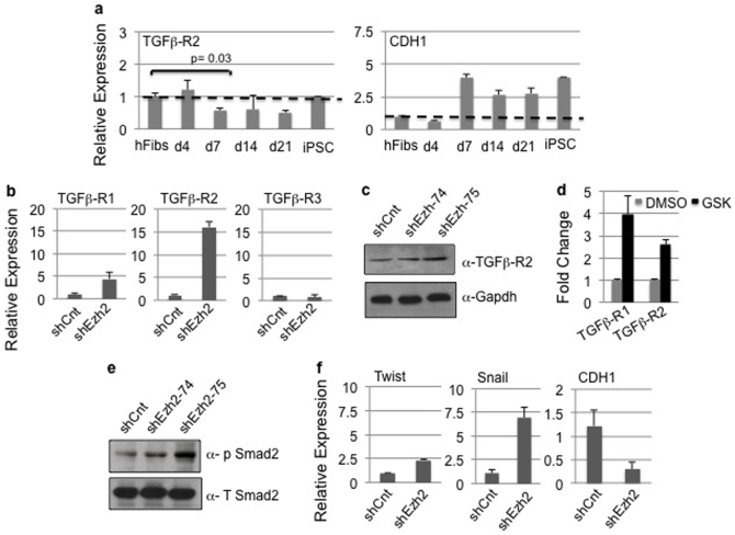 Inactivation of Ezh2 or inhibition of H3K27me3 activity enhances TGF-β signaling in human fibroblasts. (a) Expression profile of TGF-βR2 and CDH1 in hFibs undergoing reprogramming at various time courses indicated. (b) Expression profile of mRNAs encoding TGF-β receptors in hFibs transduced with control and Ezh2 shRNA. (c) Western blotting for TGF-βR2 and GAPDH control in hFibs transduced with control and Ezh2 shRNA. Uncropped/Full blots images are provided in Supplementary Fig. 7 a–b . (d) Expression profile of mRNAs encoding TGF-β receptors in DMSO and GSK treated human fibroblasts. (e) Western blotting using anti phospho- Smad2 and total Smad2 antibody in hFibs transduced with control and Ezh2 shRNA. Uncropped/Full blots images are provided in Supplementary Fig. 7 c–d (f) Relative expression of mRNA for Twist, Snail and E-cadherin (CDH1) that are downstream targets for TGF-β signaling in hFibs transduced with control and Ezh2 shRNA.