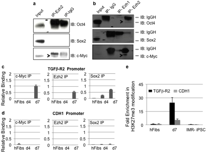 Ezh2 interacts with c-Myc and Sox2 to repress TGF-β receptor and p53 activity during reprogramming. (a) Cell extracts from hFibs transduced with OSKM (day 7) were subjected to immunoprecipitation using Ezh2 or control IgG followed by western blotting for Oct4, Sox2 and c-Myc. Uncropped/Full blots images are provided in Supplementary Fig. 8 a–c (b) Cell extracts from H9-hESC were subjected to immunoprecipitation using Ezh1, Ezh2 or control antibodies followed by immunoblotting for indicated antibodies. Uncropped/Full blots images are provided in Supplementary Fig. 8 d–f . (c–d) Chromatin immunoprecipitation for Sox2, c-Myc and Ezh2 were performed from hFibs, OSKM transduced hFibs at day 4 and 7 days followed by quantitative PCR amplification of indicated gene promoters. (e) Chromatin IP for H3K27me3 was performed in hFibs, OSKM transduced hFibs at day 7 and iPSC.