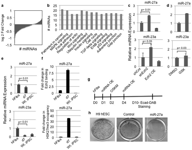 Ezh2 regulates miR-27a expression during human fibroblasts reprogramming. (a) Differentially expressed miRNAs in sh-Ezh2 hFibs calculated by Edge R and DESeq programmes. (b) Histogram depicting the number of miRNA regulating indicated pathways in shEzh2 hFibs. (c) qPCR results of indicated miRNA expression levels in shCnt, shEzh2 and Ezh2 OE hFibs. (d) qPCR results of indicated miRNA expression levels in DMSO control and GSK treated hFibs. (e) Expression profile of indicated miRNA in hFibs, OSKM transduced hFibs on day7 and iPSCs. (f) Chromatin IP for Ezh2 and H3K27me3 was performed in hFbs, OSKM transduced hFibs at day7 and iPSC. Two Kilobase upstream sequence of miR27a was amplified from immunoprecipitated material. (g) Schematic representation of miR-27 plasmid overexpression and OSKM transduction. E-cadherin DAB staining was performed 10 days post introduction of reprogramming factors. (h) E-cad DAB staining in H9 hESC, control and miR-27a overexpressing hFibs.