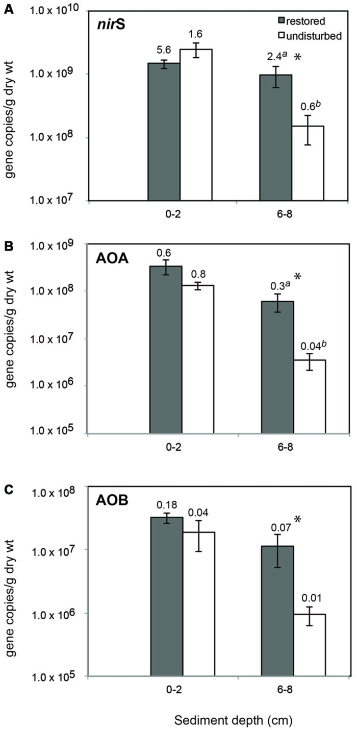Mean (±SE) abundance of nir S (A), archaeal amo A (B), and betaproteobacterial amo A (C) genes in sediment from restored and undisturbed marshes. Asterisks (*) indicate significantly different values ( P ≤ 0.05) between means ( n = 4) from restored and undisturbed marshes. Numbers above bars are the mean ratio of functional gene abundance to Bacterial 16S rRNA gene abundance. Significantly different ratios between restored and undisturbed sites are indicated by different letters.
