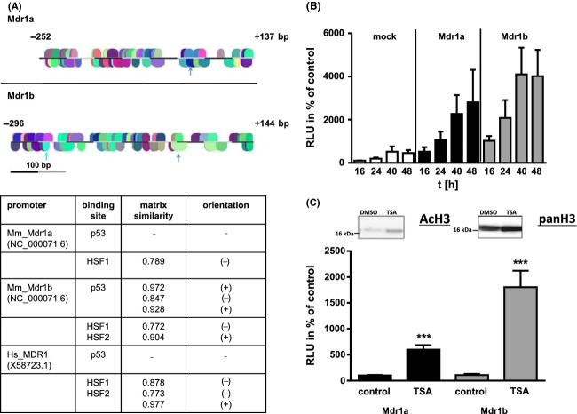 Characterization of Mdr1a and 1b reporter constructs. (A) Core promoter regions of Mdr1a and b according to literature (Hsu et al. 1990 ; Cohen et al. 1991 ). An in silico analysis revealed about 60–70 transcription factor binding sites in both sequences (MatInspector Analysis). Predicted binding sites for p53 (green) and HSF1 (blue) are indicated by arrows and given in detail in the table below. For comparison, we included HSF-binding sites of the human promoter region. As HSF1 and 2 are able to form heterocomplexes (Lecomte et al. 2013 ), we also included information for this transcription factor. (B) Basal activity of both promoters was measured using single Gaussia -based reporter plasmids. N2A cells were transfected and cell supernatant with secreted enzyme collected at the indicated time points. RLU (relative light units) are given as mean ± standard deviation from three independent experiments performed in triplicate. Cells transfected with the promoter-less control vector (mock) were used as a control and values obtained for those cells at 16 h post transfection were set to 100%. All data obtained for promoter-containing constructs were significantly higher than the respective control sample (one-way ANOVA, Bonferroni posttest, P