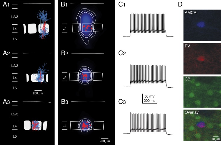 Average axonal domains and firing patterns of the 3 different types of fast-spiking L4 interneurons. ( A 1–3) Representative Neurolucida reconstructions of L4 interneurons that were classified as cluster 1 ( A 1), cluster 2 ( A 2), and cluster 3 ( A 3) cells, respectively (axons are given in blue, the somatodendritic domain in red). ( B 1–3) Average axonal length density maps (blue) of the 3 different clusters, respectively. White, thin contour lines enclosing 70%, 80%, and 90% of the integrated axonal density are shown superimposed. The red triangles depict the location of the L4 interneuron somata with respect to the center of the barrel. Note that cluster 1 interneurons have axonal domains that project both throughout cortical layer 2/3, 4, and 5 with the highest density in layer 2/3. In contrast, cluster 3 interneurons have an axonal domain that resides almost exclusively within the home barrel. Cluster 2 interneurons constitute an intermediate class between cluster 1 and 3 neurons with an axon largely confined to the home barrel with only short vertically ascending axonal collaterals in lower layer 2/3. ( C 1–3) Examples of AP firing patterns elicited by rectangular current pulses injected at the soma of the 3 L4 interneuron types. The maximum firing frequency in all of these neurons was ∼300 Hz, that is, all 3 types can be classified as interneurons with FS characteristics. There were no significant differences in the firing characteristics and, thus, the L4 interneurons cannot be discriminated by these criteria. ( D ) Immunohistochemistry of a typical cluster 3 neuron. AMCA streptavidin was used to determine the location and morphology of the neuron, which was positive for PV but negative for CB.