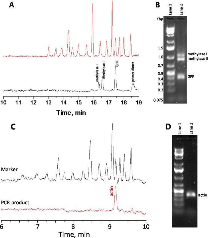 """Performing multiplex PCR, BaNC-HDC separation, and online dye intercalation on an integrated microfluidic platform. Panel (A) shows BaNC-HDC separation traces; the top trace was obtained from separating a 1-kbp-plus DNA ladder, and the bottom trace was obtained from separating the multiplex PCR products amplified in the capillary <t>thermocycler</t> (30 cycles; see Capillary PCR in the SI for details). The BaNC-HDC separations were executed under ∼200 psi. Panel (B) shows the slab–gel electrophoresis of the crude multiplex PCR products amplified by a MJ Research thermocycler (30 cycles). (""""Lane 1"""" shows data from the DNA ladder; """"Lane 2"""" shows data from crude PCR multiplex products.) Panel (C) shows BaNC-HDC separation of a PCR-amplified genomic region (30 cycles; see Capillary PCR in the SI for details). The top trace represents the separation of a 1-kbp-plus DNA ladder, and the bottom trace is the result of the separation of an actin sequence from a rice genomic DNA that was amplified by the capillary PCR and online-intercalated with YOYO-1. The BaNC-HDC separations were executed under ∼400 psi. Other conditions were similar to those described for Panel (A). Panel (D) shows the slab–gel electrophoresis of a conventional PCR-amplified actin sequence. (""""Lane 1"""" shows data from the DNA ladder, and """"Lane 2"""" shows data from the actin.) Other conditions were similar to those described for Panel (B)."""