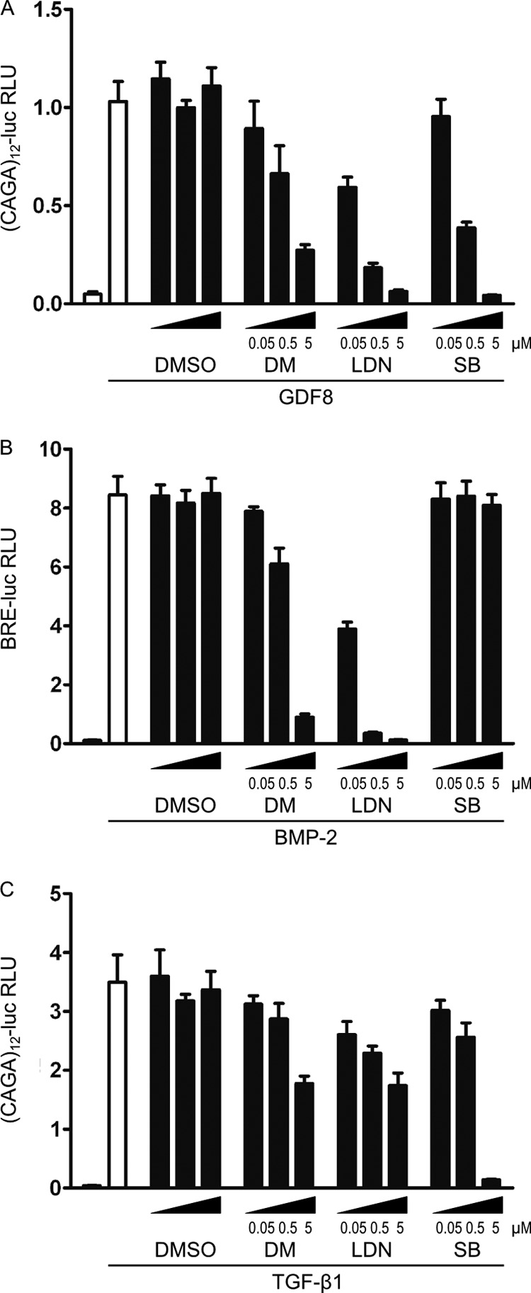 Dorsomorphin and LDN-193189 efficiently inhibit GDF8 induced Smad3/4 reporter gene activity. Undifferentiated C2C12 cells were transfected with Smad3/4-responsive (CAGA) 12 -luciferase or Smad1/5-responsive BRE-luciferase reporter constructs together with constitutively expressed Renilla luciferase overnight. Cells were serum-starved and stimulated for 6 h with 20 n m GDF8, 100 p m TGF-β, or 10 n m BMP2, together with the receptor kinase inhibitors dorsomorphin, LDN-193189, and SB-431542, as indicated. Luciferase activities are presented as relative luciferase units ( RLU ; firefly luciferase activity normalized to Renilla activity). Bars , mean ± S.D. ( error bars ) of triplicates. A , dorsomorphin and LDN-193189 repressed GDF8-induced (CAGA) 12 -luciferase activity from 0.5 and 0.05 μ m , respectively. B , BMP2-induced BRE-luciferase activity was efficiently repressed by 0.5 μ m dorsomorphin or 0.05 μ m LDN-193189. C , TGF-β-induced (CAGA) 12 -luciferase activity was repressed by 5 μ m dorsomorphin or 0.5 μ m LDN-193189.
