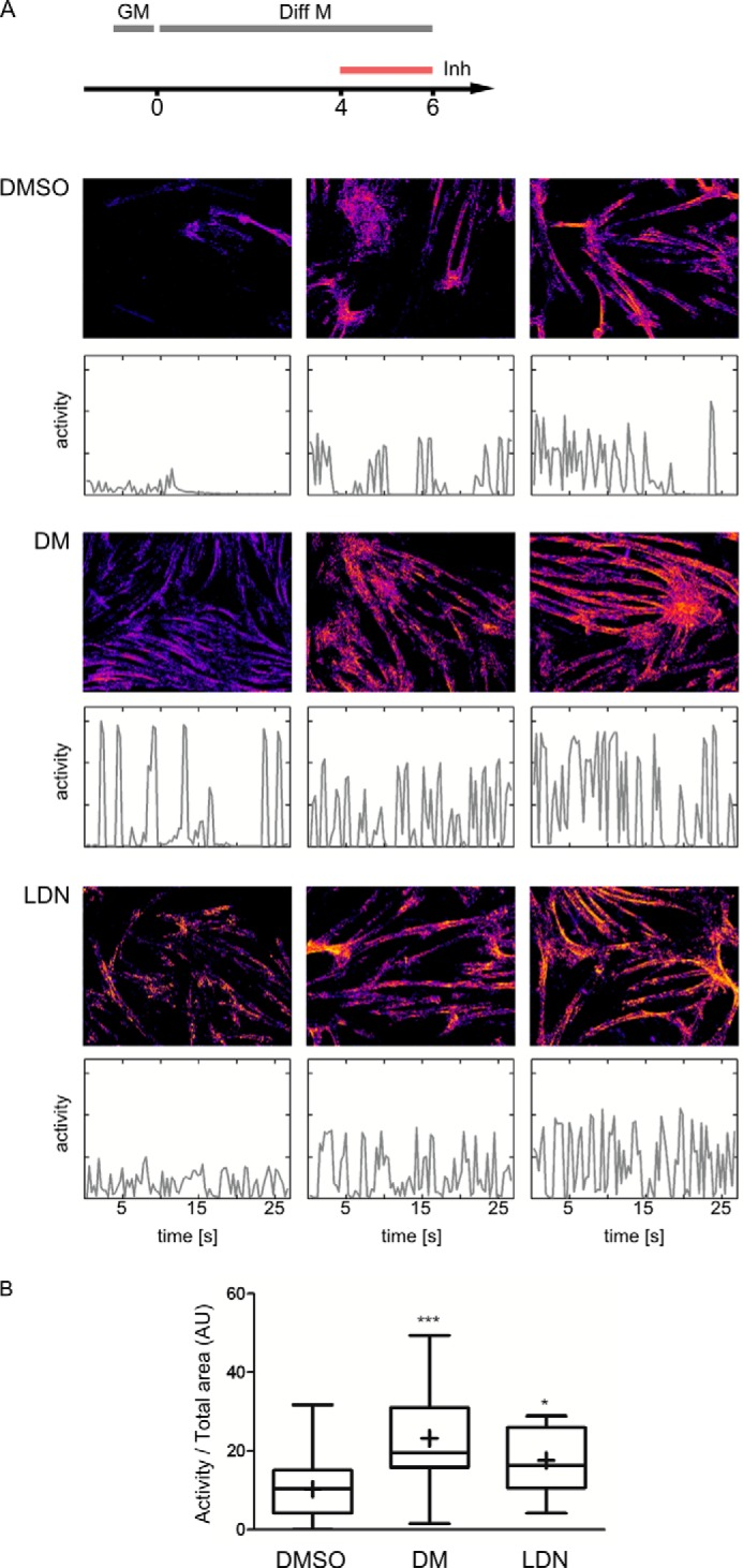 Dorsomorphin and LDN-193189 promote the formation of a contractile myotube network. Confluent C2C12 cells were switched to differentiation medium (DMEM containing 2% horse serum). At day 4 of differentiation, cells were treated with 5 μ m DM, 0.5 μ m LDN-193189, or vehicle (0.05% DMSO). At day 6, contractile activities were recorded by time lapse DIC microscopy (3.3 frames/s, 30 s). A , visualization of contractile areas and activities. Top panels , contracting areas with color coding for the mean activities. Only active areas are visible , whereas inactive areas appear black. Bottom panels , time course of activity for the respective movies. For each treatment, three representative data sets are shown: samples with activities at the lower 25% ( left ), median ( middle ), or 75% percentiles ( right ) of the mean activities of all samples with the respective treatment. B , median activities in movies of DMSO ( n = 28)-, dorsomorphin ( n = 32)-, and LDN-193189 ( n = 28)-treated cells. AU , arbitrary units. Asterisks indicate statistical significance (*, p