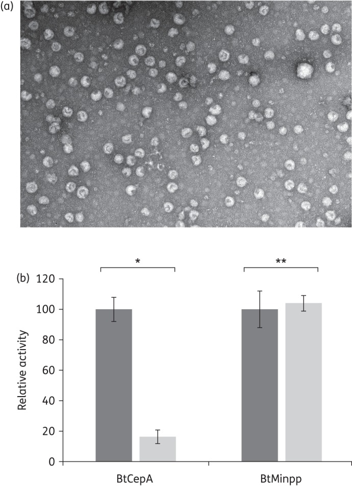 OMVs are produced in vivo by B. thetaiotaomicron and display BtCepA on their surface. (a) Electron microscopic photograph of OMVs collected from a sterile compartment after their diffusion through a 0.22 μm membrane from a compartment containing a B. thetaiotaomicron culture (see the Materials and methods section). Scale bar, ∼100 nm. (b) BtCepA and BtMinpp activities measured after treatment of OMVs with proteinase K. The relative activity is the ratio of the activity measured after proteinase K treatment compared with the activity measured without treatment. Dark grey bars, no proteinase K pre-treatment; light grey bars, proteinase K pre-treatment. * P