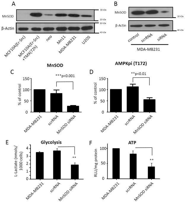 Comparative MnSOD expression and effects in non tumorigenic (MCF10A), tumorigenic (MCF7) and metastatic (MDA-MB-231 and U2OS) cells (A) Western blot analysis of MnSOD expression levels in non tumorigenic (non-induced MCF10AErSrc), tumorigenic (TMX-treated MCF10A-Er-Src, MCF7) and metastatic (MDA-MB-231 and U2OS) cell lines. (B) Levels of MnSOD in MDA-MB231 cells manipulated with MnSOD targeted siRNA and respective diminishment in AMPK phosphorylation levels as analyzed by Western blot. (C) Quantification of MnSOD expression by Western blot before and after treatment of MDA-MB231 cells with silencing RNA. (D) Quantification of AMPK phosphorylation before and after MnSOD silencing in MDA-MB231. (E) Effect of MnSOD silencing on the glycolytic rate of MDA-MB-231 cells measured by extracellular flow analysis using Seahorse Biosciences XF analyser. (F) Effect of MnSOD silencing on steady state ATP levels of MDA-MB-231 cells. Cells were harvested and analysis was performed 72h after the delivery of siRNA. Statistical analysis was performed using one-way ANOVA with post-hoc t-test (GraphPad InStat) *p
