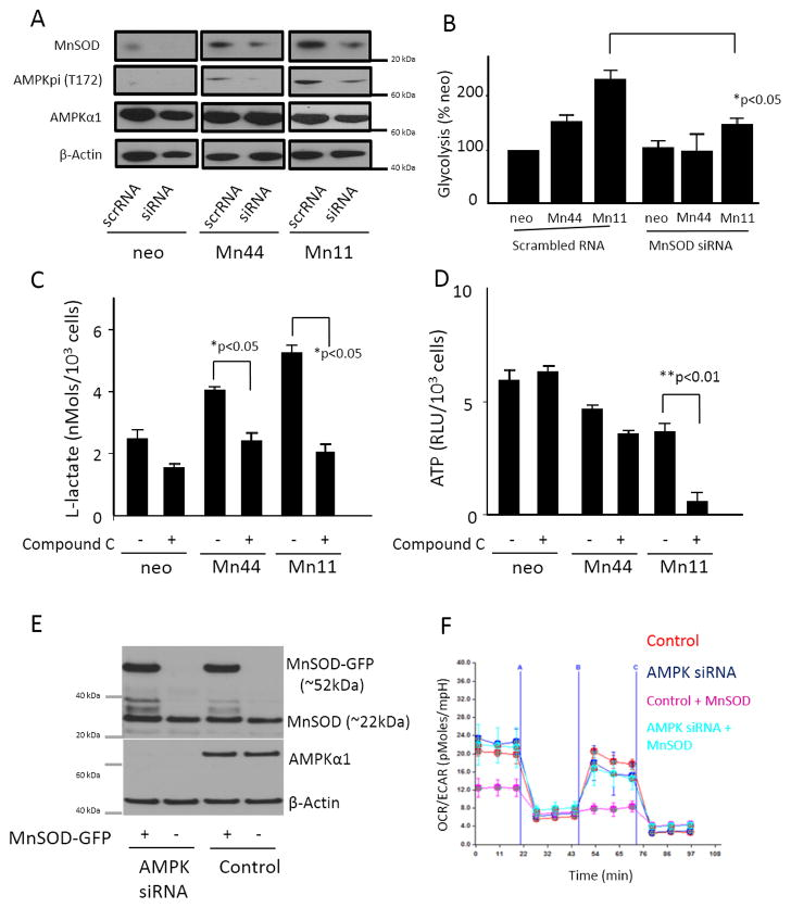 Suppression of MnSOD or inhibition of AMPK impair the shift to glycolysis in cells overexpressing MnSOD MnSOD siRNA was introduced into cells overexpressing MnSOD by electroporation. Cells were harvested 48 h after siRNA delivery. (A) Western blot of protein lysates showed the decrease of MnSOD expression in Mn44 and Mn11 to levels compared to undisturbed neo. The partial downregulation of MnSOD in Mn44 and Mn11 corresponded to a decrease in activated AMPK (Thr172p) analyzed by Western blot. (B) MnSOD siRNA transfection resulted in decreased glycolytic rate compared to untreated cells. The glycolytic rate was assessed by monitoring lactate production between 48 and 52 h post MnSOD silencing. (C) AMPK inhibition with compound C (for 24 h, 25 μM) decreased glycolysis. (D) ATP steady state levels were slightly and markedly decreased in Mn44 and Mn11, respectively by the inhibition of AMPK with compound C. (E) Cells constitutively expressing AMPKα1 siRNA were transfected with MnSOD-GFP or GFP carrying constructs using lipofectamine. Western blot analysis of MnSOD expression levels was performed by Western blot 48h after transfection. (F) Cells overexpressing MnSOD on an AMPK- competent and AMPK-depleted background were analyzed by extracellular flow analysis (seahorse). MnSOD overexpression led to the metabolic shift to glycolysis only when expressed in AMPK-competent cells. *p