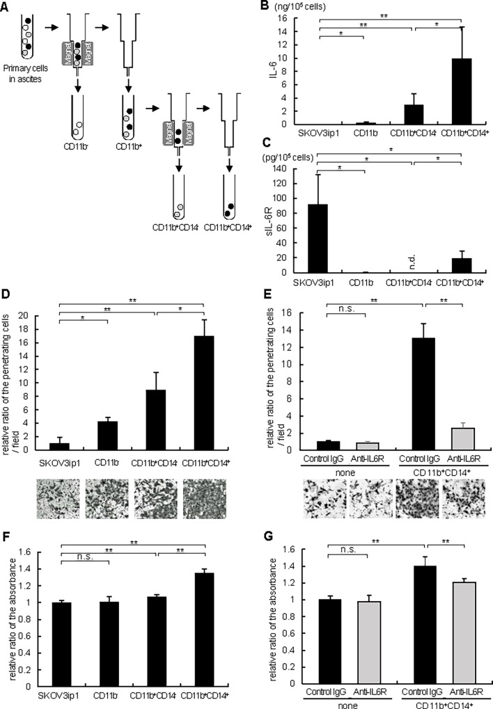CD11b + CD14 + cells from ovarian cancer ascites promote ovarian cancer cell invasion and proliferation via producing IL-6. (A) The protocol of isolation of CD11b - , CD11b + CD14 - and CD11b + CD14 + cells using magnetic-activated cell sorting (MACS) technology (Miltenyi Biotech). ELISA assay of IL-6 (B) and sIL-6R (C). 1 x 10 5 of SKOV3ip1 cells and primary cells indicated in the figure were plated onto 6-well plates and cultured with 2 ml of serum-free medium for 72 h. Conditioned media were collected and the concentrations of human IL-6 (B) as well as sIL-6R (C) were measured by ELISA. Experiments were repeated three times and values are means (±SD) of triplicates. (D) Matrigel invasion assay. 1 x 10 5 SKOV3ip1 cells were placed on the upper chamber with the same number of primary cells indicated in the figure seeded on the bottom chamber as a chemoattractant, and were allowed to invade for 72 h. The relative number of invading cells when no cells were plated on the bottom chamber was set as 1.0. (E) Anti-IL-6R antibody inhibited ovarian cancer cell invasion induced by CD11b + CD14 + cells. In this experiment, the co-culture experiment in Fig. 4D was repeated with the addition of the 10 μg/ml of anti-IL-6R antibody or non-immune IgG in the bottom chamber. Representative pictures of transwells are shown in Fig. 4D and 4E ( bottom ). (F) In vitro cell proliferation assay. 1 x 10 4 SKOV3ip1 cells were plated in 24-well plates. Thereafter, polycarbonate filters with 1-μm pores were placed onto 24-well plates and the same number of primary cells indicated in the figure were seeded as a stimulant and cells were cultured for 72 h. Cell proliferation was expressed as the ratio of the number of viable cells. (G) Anti-IL-6R antibody inhibited ovarian cancer cell proliferation induced by CD11b + CD14 + cells. In this experiment, the co-culture experiment in Fig. 4F was repeated with the addition of the 10 μg/μl of anti-IL-6R antibody or non-immune IgG in the upper chamber.