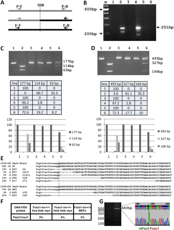 Analysis of the CRISPR-Cas9 induced t(1;3) in Foxo1-inv +/+ myoblasts. A. Schematic representation of the position of the Pax3 forward (P-F) and reverse (P-R) PCR primers upstream and downstream of the Pax3 breakpoint in intron 7 (DSB) and of the Foxo1 forward (F-F) and reverse (F-R) PCR primers upstream and downstream of the Foxo1 breakpoint in intron 1 (DSB). The P-F and F-R primer pair amplify the Pax3-Foxo1 fusion . B. Agarose gel showing the PCR products obtained using the P-F/F-R primer pair and DNA from Foxo1-inv +/+ hind limb DNA without (lane 1) and with (lane 2) CRISPR-Cas9 treatment, form Foxo1-inv +/+ fore limb DNA without (lane 3) and with (lane 4) CRISPR-Cas9 treatment, from wild type fore limb DNA with CRISPR-Cas9 treatment (lane 5), and from Foxo1-inv +/+ MEF DNA with CRISPR-Cas9 treatment (lane 6). M is 100 bp ladder molecular weight marker. The position of the expected size of the cleanly ligated Pax3-Foxo1 fusion fragment is indicated on the right (251 bp). C. Agarose gel showing the Pax3 PCR fragments containing the RH30-like Pax3 breakpoint from Foxo1-inv +/+ fore limb myoblast DNA not treated with CRISPR-Cas9 without (lane1) and with (lane 2) MaeIII digest, treated with CRISPR-Cas9 without (lane 3) and with (lane 4) MaeIII digest and Foxo1-inv +/+ MEF DNA treated with CRISPR-Cas9 without (lane 5) and with (lane 6) MaeIII digest. Expected fragment sizes are indicated on the right. Fully modified CRISPR-Cas9/NHEJ DSBs do not cut with MaeIII . Beneath the gel is a table with the relative fragment intensities as measured with a BIO-RAD ChemiDoc imaging system. Underneath the table is a histogram giving a graphic representation of the relative band intensities. D. Same analysis as in C but for the Foxo1 fragment containing the RH30-like breakpoint digested with DdeI . The table underneath shows the relative fragment intensities as measured with a BIO-RAD ChemiDoc imaging system. Underneath the table is histogram giving a graphic representation of th
