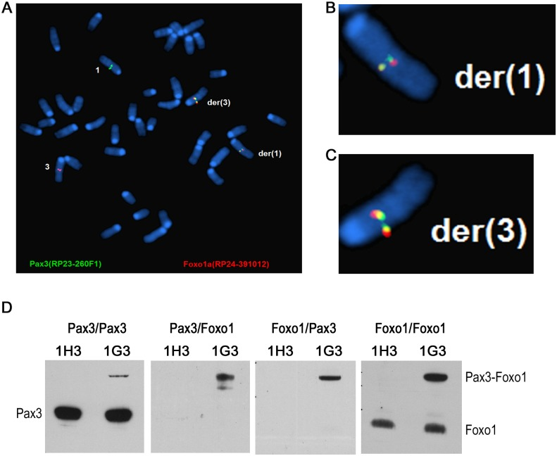 The reciprocal t(1;3) in myoblasts expresses Pax3-Foxo1 protein, which upregulates target gene expression. A-C. FISH analysis of an t(1;3)-enriched pool 1G3 myoblasts showing the reciprocal translocation. B and C show the magnified der(1) and der(3) chromosomes, respectively. D. Lysate of 1H3 (0%) and 1G3 [64% t(1;3)] myoblasts was immunoprecipitated with an anti-Pax3 antibody and immunoblotted with anti-Pax3 antibody (Pax3/Pax3) or anti-Foxo1 antibody (Pax3/Foxo1). The IP with anti-Foxo1 antibody was immunoblotted with anti-Pax3 antibody (Foxo1/Pax3) and an anti-Foxo1 antibody (Foxo1/Foxo1). The positions of the Pax3, Pax3-Foxo1 and Foxo1 bands are indicated.