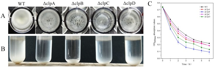 Roles of CLP proteins in bacterial aggregation. (A) Cells were grown in liquid LB medium for 72 h in 96-well plates. The images were obtained by viewing from the top to the bottom. (B) Cells viewed from front to back after standing for 10 h following 24 h incubation in glass test tubes. (C) Cell sedimentation assy. WT, Δ clpA , Δ clpB , Δ clpC , and Δ clpD bacteria were grown until OD 600 = 0.7 and the bacterial precipitates were suspended by mixing, before the OD 600 values were measured at 1 h intervals.