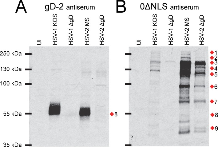 Western blot analysis of HSV gD-antigen-deletion mutants: effect on antibody-binding targets of gD-2 antiserum versus HSV-2 0ΔNLS antiserum. Western blots of (UI) uninfected Vero cells or cells inoculated with 5 pfu/cell of HSV-1 KOS, a HSV-1 ΔgD virus (KOS-gD6), HSV-2 MS, or a HSV-2 ΔgD virus (HSV-2 ΔgD-BAC) incubated with 1:20,000 dilutions of serum from mice immunized with (A) gD-2 + alum/MPL adjuvant or (B) HSV-2 0ΔNLS. Red diamonds (1–9) denote the positions of viral proteins most commonly targeted by mouse IgG antibodies.