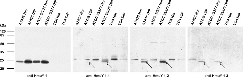 Reactivity of anti-HmuY antibodies with P . gingivalis wild-type (A7436 and ATCC 33277) and hmuY mutant (TO4) strains. Bacteria were cultured in high iron/heme (Hm) or low-iron/heme (DIP) media. Western blotting was carried out using antibodies raised against purified HmuY protein (anti-HmuY 1), epitope 1 (anti-HmuY 1–1), epitope 2 (anti-HmuY 1–2), and epitope 3 (anti-HmuY 1–3). Arrows denote location of bands corresponding to P . gingivalis HmuY protein.