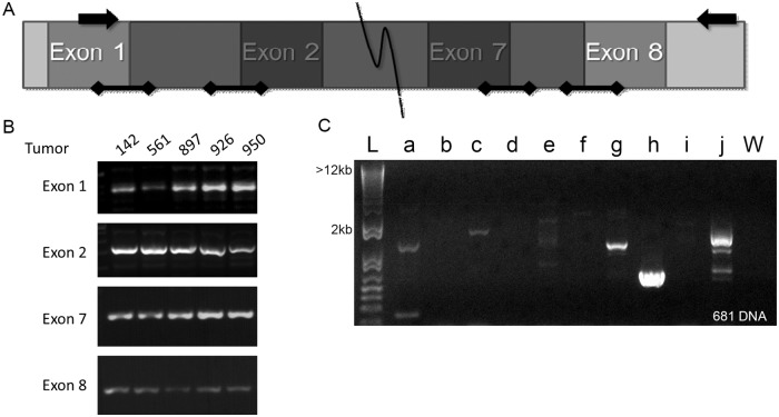 PCR amplification of EGFR for genomic alterations leading to EGFRvIII transcript. A. Schematic of sequencing primers and areas of interest. Arrows indicate the location of the primers used to detect EGFRvIII in genomic DNA and unspliced RNA. Bars with diamond caps indicate areas amplified for splice donor and acceptor mutations. The shaded area is lost in EGFRvIII. B. Representative PCR amplification of the splice donor/acceptor sites of EGFR exons 1, 2, 7 and 8 in an EGFRvIII positive HNSCC DNA sample. These bands were excised and sequenced for mutations. C. Representative long-range PCR amplification of EGFR intron 1 for a single EGFRvIII positive HNSCC DNA sample. L: base pair marker, W: water control, a-j: primer sets.