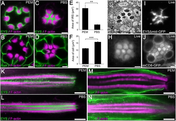 A severe distortion in lumen and cell morphology results when tissue is fixed in PEM (PIPES, EGTA, and MgSO 4 ) buffer. (A–D, K–N) Immunofluorescence micrographs of 96 hours (h) after puparium formation (APF) w 1118 (wild type) Drosophila ommatidium in a cross optical section (A–D) or in a vertical optical section (K–N) showing the positioning of the rhabdomeres and the size of the inter-rhabdomeral space (IRS). Tissues were fixed in PEM buffer (A,B,K,M) or in PBS buffer (C,D,L,N) . The rhabdomeres, F-actin, are labeled with Phalloidin (magenta), and EYS (A,C,K,L) or Na + K + <t>ATPase</t> (NaK) which labels the basolateral membranes (B,D,M,N) are shown in green. (E–F) Quantitative analysis of the area of the IRS (E) or the average area of R1–R7 photoreceptor cells (F) in PEM or PBS buffered conditions as seen in (A–D) . Values represent mean ± SEM. ** P