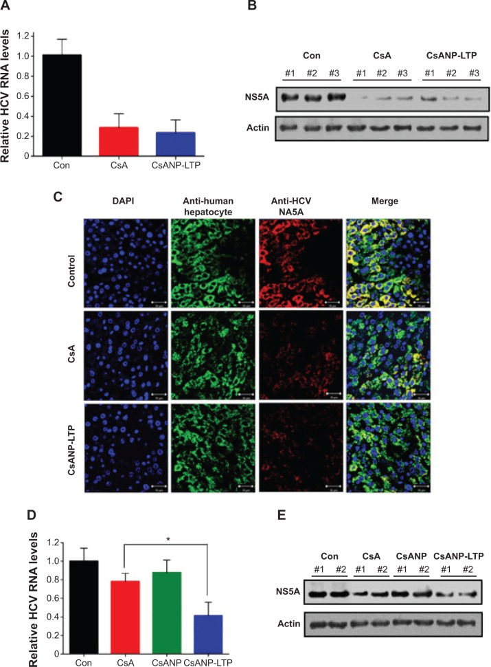 Effect of targeted CsA encapsulated poly (lactic-co-glycolic) acid nanoparticles in an HCV mouse model. Notes: ( A ) HCV RNA levels. ( B ) NS5A protein levels. ( C ) Confocal microscopy analysis of Huh7 cells containing the HCV-Con1b replicon for human hepatocytes (green) and HCV NS5A (red), in the liver tissue of an HCV mouse model (n=3) after continuous treatment with CsA or CsANP-LTP at 48-hour intervals for 21 days. Sustained antiviral effects of free CsA, CsANP, or CsANP-LTP after treatment withdrawal on ( D ) HCV RNA levels and ( E ) NS5A protein levels. For withdrawal experiments (n=3), injections were given on days 1, 3, and 5 and HCV RNA and NS5A protein levels were assessed after day 21. In both experiments, HCV RNA levels were normalized by human GAPDH levels, and the data are presented as the average ± SD from three mice. * P