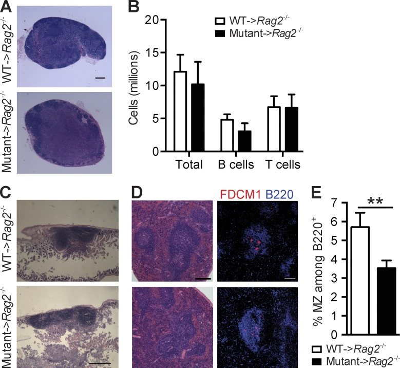 Defective lymphoid organogenesis in IκBα mutant→ Rag2 −/− chimeras. (A) Inguinal LN sections stained with H E. (B) Numbers of total cells and B and T cells from inguinal and axillary LNs (one from each mouse) evaluated by counting in a hemocytometer. (C) H E staining of longitudinal sections of the small intestine. (D) Spleen sections were stained with H E (left) and by immunofluorescence for B220 and FDCM1 (right). Bars: (A and D [right]) 100 µm; (C) 1,000 µm; (D, left) 200 µm. (E) Percentage of CD21 + CD23 − MZ B cells among the B220 + cells in the spleen determined by flow cytometry. Data in A–E are representative of four to six mice per group in three to four independent experiments. Columns and bars in B and E represent mean and SD. **, P