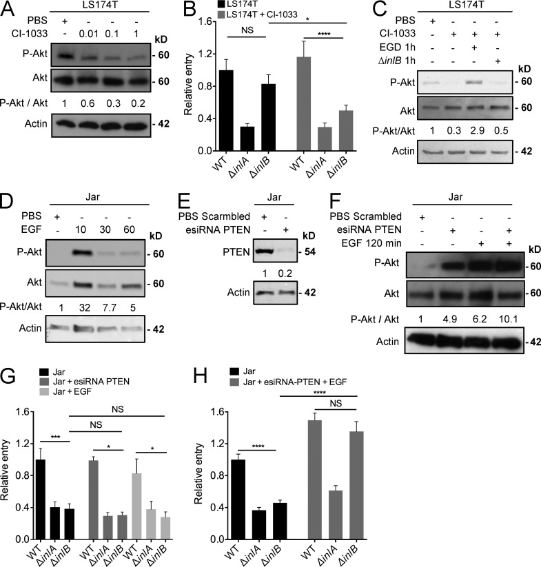 Modulation of PI3-K activity inversely impacts InlB-requirement for Lm entry in vitro. (A) Whole cell extracts from LS174T cells incubated with PBS or different concentrations of the <t>ErbB</t> inhibitor <t>CI-1033</t> (0.01, 0.1, or 1 µM) during 24 h, immunoblotted for P-Akt and total Akt. (B) Invasion assays of WT Lm EGD and isogenic mutants Δ inlA and Δ inlB in LS174T cells incubated with PBS (controls, black bars) or CI-1033 1 µM (gray bars) for 24 h. (C) Whole cell extracts from LS174T cells incubated with PBS or CI-1033 1 µM and infected with WT Lm EGD and isogenic mutant Δ inlB , immunoblotted for P-Akt and total Akt. (D) Whole cell extracts from Jar cells incubated with PBS or EGF 50 ng/ml during 10, 30, or 60 min, immunoblotted for P-Akt and total Akt. (E) Whole cell extracts from Jar cells transfected with esiRNA PTEN, immunoblotted for PTEN. (F) Whole cell extracts from Jar cells transfected with esiRNA PTEN or control scrambled and incubated with PBS or EGF 50 ng/ml for 120 min, immunoblotted for P-Akt and total Akt. (G) Invasion assays of WT Lm EGD and isogenic mutants Δ inlA and Δ inlB in Jar cells incubated with PBS, or transfected with esiRNA PTEN or incubated with EGF 50 ng/ml. (H) Invasion assays of WT Lm EGD and isogenic mutants Δ inlA and Δ inlB in Jar cells incubated with PBS or incubated with EGF 50 ng/ml, and transfected with esiRNA PTEN. (B, G, and H) Invasion assays were performed in triplicates and represent at least three independent experiments for each condition tested. Relative entry represents the ratio of CFUs for each strain divided by the mean of CFUs for the WT Lm EGD strain. A one-way ANOVA test followed by a Bonferroni's multiple comparisons was performed. Error bars, SEM. (A, C, D, E, and F) Immunoblots were performed at least two times. Densitometry was performed and the ratio of P-Akt over total Akt is relative to the PBS, for which the value is normalized to 1.