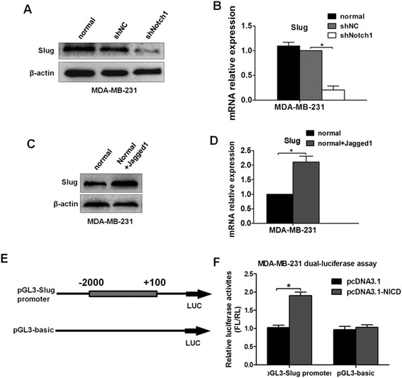 Notch1 regulates Slug expression by enhancing its promoter activity. (A) and (B) The level of Slug expression was evaluated by western blot and real-time PCR after MDA-MB-231 cells were stably transfected with shNC or shNotch1. (C) and (D) The Slug expression level following treatment with Jagged1 ligand for 48 h was estimated by western blot and real-time PCR. (E) The schematic diagram shows the construction of the pGL3-Slug promoter and its negative control pGL3-basic. (F) Luciferase reporter assays were carried out in MDA-MB-231 cells, which were cotransfected with the pGL3-Slug promoter or its negative control pGL3-basic and N1ICD overexpression plasmid <t>pcDNA3.1(+)</t> or its negative control plasmid pcDNA3.1. Each independent experiment was repeated three times. Column: mean; bar: SD. The symbol * represents a significant difference (P