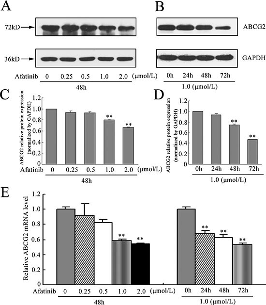 Effect of afatinib on the expression of ABCG2 (A-B) H460/MX20 cells were treated with varying concentrations (0–2.0 μM) of afatinib for 48 h, or with 1.0 μM afatinib for 24 h, 48 h and 72 h, respectively. ABCG2 protein levels were analyzed by Western blot. GAPDH was used as a loading control. (C-D) relative quantification of the effect of afatinib on ABCG2. ABCG2 protein expression levels were normalized to GAPDH. (E-F) effect of afatinib on the ABCG2 expression at the mRNA level was determined by real time RT-PCR. The amount of ABCG2 mRNA in a given sample was normalized to the level of GAPDH in that sample. The 2 −ΔΔCt method was used to analyze the relative change. Data represent Mean ± SD. ** p