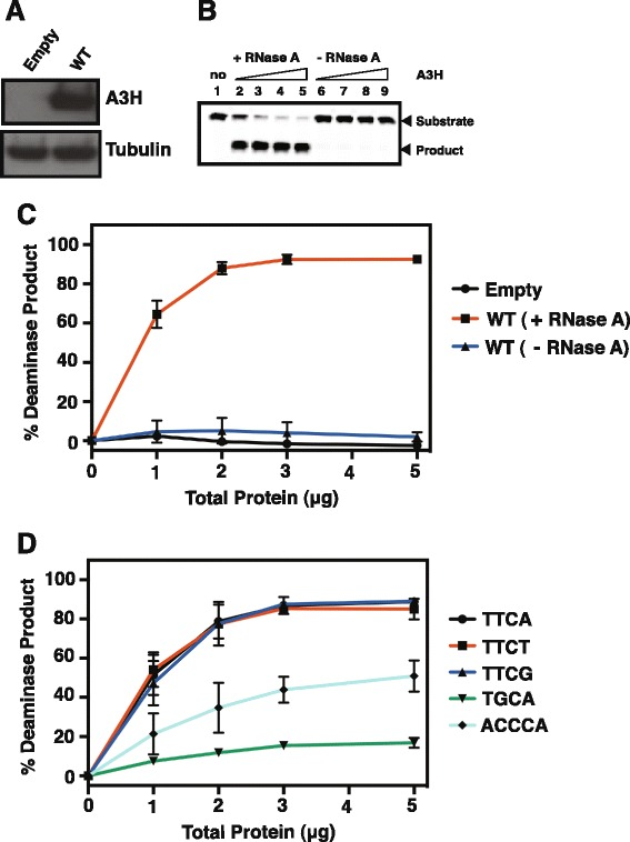 A3H deaminase activity dependence on RNase A treatment of extracts and substrate specificity. (A) Western blot analysis showing the WT A3H protein levels in 293T cells. Transfection of the empty vector (no A3H) served as a negative control and showed that 293T cells do not contain detectable levels of endogenous A3H. The tubulin loading control is also shown. (B) Representative gel illustrating assay of WT A3H deaminase activity in a cell extract using a 40-nt TT C A-containing oligonucleotide substrate. The oligonucleotide was incubated with increasing amounts of A3H extract in the presence and absence of RNase A. The positions of the substrate (40 nt) and the deamination product are indicated by arrows to the right of the gel. Lane 1, empty vector control; lanes 2 and 6, lanes 3 and 7, lanes 4 and 8, and lanes 5 and 9 represent reactions containing 1 μg, 2 μg, 3 μg, and 5 μg of total protein, respectively. (C) The percent (%) deamination product was calculated as described in Methods and was plotted against the amounts of total protein. (D) Deaminase assay using WT A3H extract and 40-nt oligonucelotides containing the following deaminase motifs: TT C A, TT C T, TT C G, TG C A, and ACC C A. The data were analyzed and plotted as described in (C) .