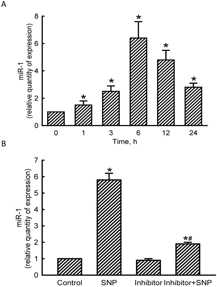 Effects of sodium nitroprusside (SNP) on microRNA-1 (miR-1) expression. MC3T3- E1 cells were exposed to 2 mM SNP for 1, 3, 6, 12, and 24 h. Levels of miR-1 were quantified using a quantitative PCR analysis (A). MC3T3-E1 cells were treated with SNP, hsa-miR-1 (a miR-1 inhibitor), and their combination for 6 h. The Anti-miR™ miRNA Inhibitor Negative Control #1 (Control) was transfected into MC3T3-E1 cells as a negative control. Amounts of miR-1 were quantified using a quantitative PCR analysis (B). Each value represents the mean ± SEM, n = 6. * and # Values significantly ( p