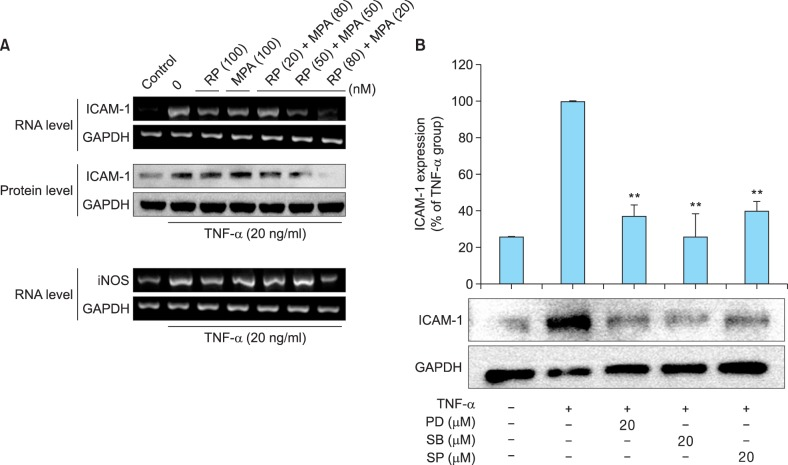 Inhibitory effects of rapamycin (RP) and mycophenolic acid (MPA) on tumor necrosis factor (TNF)-α-induced intercellular adhesion molecule 1 (ICAM-1) and inducible nitric oxide synthase (iNOS) expression in HaCaT cells. (A) HaCaT cells were pre-incubated for 24 h, and then stimulated with TNF-α (20 ng/ml) in the presence of RP, MPA, or a combination of the two drugs for 3 h (for RNA) or 12 h (for protein). ICAM-1 and iNOS expression were determined after treatment with 100 nM RP, 100 nM MPA, and different combinations of the two drugs (20 nM RP and 80 nM MPA, 50 nM RP and 50 nM MPA, and 80 nM RP and 20 nM MPA) by reverse transcription-polymerase chain reaction (RT-PCR) and western blot. (B) HaCaT cells were pretreated with an extracellular signal-related kinases (ERK) inhibitor (PD98059), p38 inhibitor (SB203580), or c-Jun N-terminal kinases (JNK) inhibitor (SP600125) for 1 h, and then stimulated with TNF-α for 12 h. The band densities are expressed as percentages of the band density of the TNF-α-only group. ** p