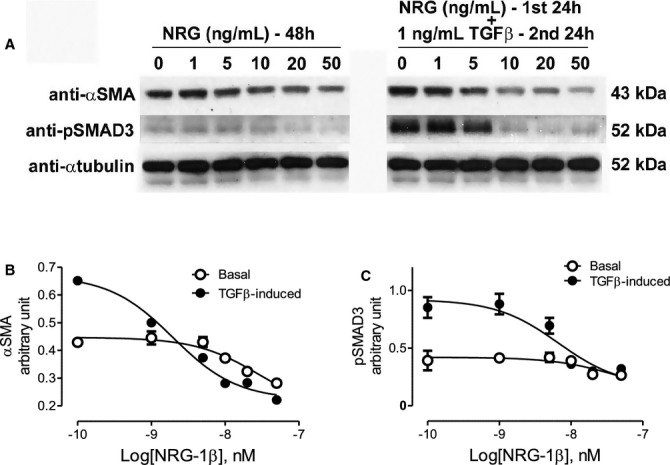 A. Representative Western blot analysis of NRG‐1β‐treated rat cardiac fibroblasts treated with 50 ng/mL of recombinant NRG‐1β at various doses for 48 hours (lanes 1 to 6), 1 ng/mL TGFβ for 48 hours (lane 7) or with NRG‐1β for 24 hours followed by 1 ng/mL TGFβ or 24 hours (lanes 8 to 13) and probed with anti‐α‐smooth muscle actin (αSMA) or phospho‐SMAD3 (pSMAD3). B and C, Graph of Western blot analyses for αSMA and pSMAD3, respectively. NRG‐1β inhibited basal and TGFβ induced αSMA at all concentrations ( P