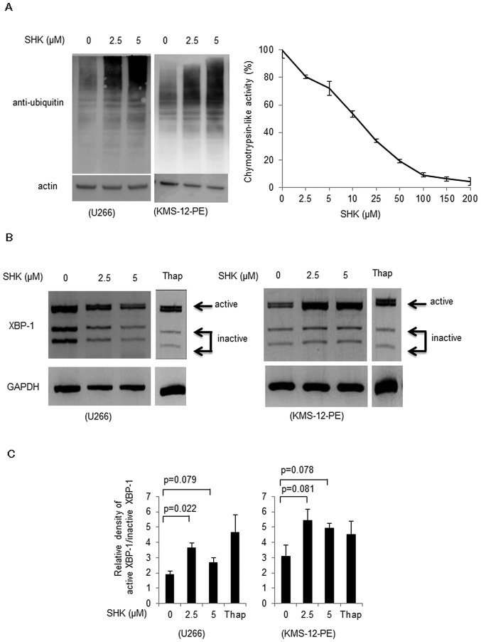 Accumulation of ubiquitinated proteins and activation of XBP-1 by SHK. (A) Left panel, western blot analyses of ubiquitinated proteins. U266 and KMS-12-PE cells were incubated with 2.5 or 5 μM SHK for 7 h. SHK induced an accumulation of ubiquitinated proteins in a dose-dependent manner. Right panel, inhibition of 20S chymotrypsin-like activity by SHK. SHK decreased 20S chymotrypsin-like activity at a dose-dependent manner. (B) Activation of XBP-1 by SHK. XBP-1 mRNA from U266 and KMS-12-PE cells treated with SHK was converted to cDNA by RT-PCR and then subsequently digested with ApaLI to distinguish inactive and active XBP-1 . Thapsigargin (Thap) was used as an endoplasmic reticulum stress inducer at 100 nM for 8 h. SHK was used at concentrations of 2.5–5 μM for 2 h. The longer fragment derived from the active form of XBP-1 mRNA (upper band) and two shorter bands derived from the inactive form (middle and lower bands) were detected. A decrease of the inactive bands was found in U266 (left panel) cells, while increase of active band was noted in KMS-12-PE cells (right panel) by treatment with SHK. (C) Relative density of active XBP-1 compared with inactive XBP-1, as shown in (B) was calculated. A significant increase of active XBP-1 was found by treatment with SHK in U266 cells. KMS-12-PE cells showed a similar trend, although the difference was not statistically significant.