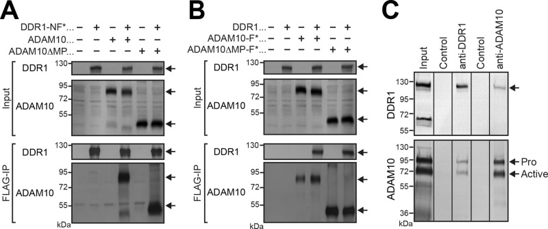Coimmunoprecipitation of DDR1 with ADAM10. (A) HEK293 cells were cotransfected with DDR1-NF, wild-type ADAM10, or ADAM10ΔMP in combination as indicated and subjected to immunoprecipitation with anti-FLAG affinity beads. Bound materials were analyzed by Western blotting using anti–DDR1 ectodomain or anti-ADAM10 antibodies. Asterisks indicate the protein that was pulled down. MP, metalloproteinase domain. (B) HEK293 cells were transiently cotransfected with FLAG-tagged ADAM10 (ADAM10-F), ADAM10ΔMP-F, or DDR1 in combination as indicated. Cell lysates were immunoprecipitated with anti-FLAG antibody, followed by Western blotting with anti-DDR1 ectodomain or anti-ADAM10 antibodies. DDR1 was coimmunoprecipitated with ADAM10-F or ADAM10ΔMP-F (FLAG-immunoprecipitation, top). Asterisks indicate the protein that was pulled down. (C) Coimmunoprecipitation of endogenous DDR1 and ADAM10. A431 cells were subjected to cell surface biotinylation before cell lysis. Cell lysates were subjected to two-step affinity precipitation using antixDDR1 ectodomain or anti-ADAM10 ectodomain conjugated to protein G–coated Dynabeads followed by streptavidin beads. Coimmunoprecipitated DDR1 and ADAM10 bound to streptavidin beads were visualized by Western blotting using anti-DDR1 C-terminus or anti-ADAM10 antibodies. Control sample was incubated with protein G–Dynabeads without antibodies. Active, active form of ADAM10; Pro, proform. Blank lanes that were cropped out of the blot are indicated by black lines.