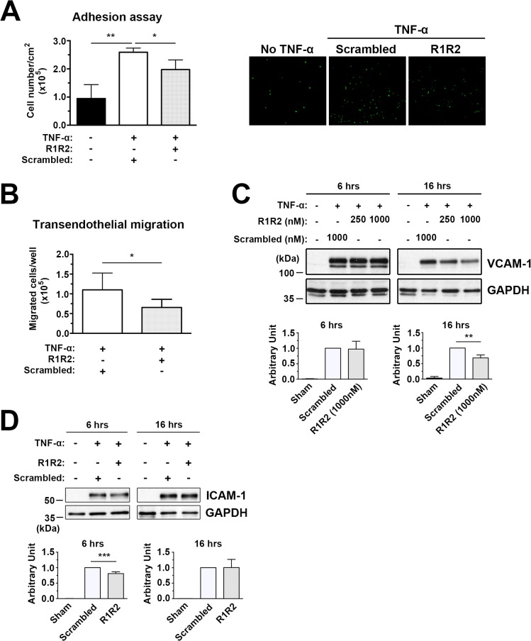 R1R2 decreases TNF-α-induced monocyte U937 cell adhesion to HUVECs and transendothelial migration and reduces <t>ICAM-1</t> and VCAM-1 levels. (A) HUVECs were pretreated with R1R2 or scramble peptide before treatment with TNF-α (10ng/ml) for 6 hours in the continued presence of R1R2 or scrambled peptide. Calcein-AM labeled U937 monocyte adhesion to TNF-α HUVECs was quantitated by fluorescence intensity. Microscopic images showing U937 monocytes adhering to HUVECs as assessed by in vitro adhesion assay. (B) Calcein-AM-labeled U937 monocytes transmigrated through TNF-α-treated HUVECs. (C) Western blot analysis of ICAM-1 and VCAM-1 expression in TNF-α-treated HUVECs. * indicates p