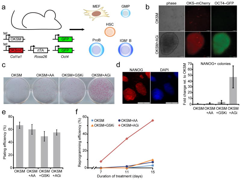 """Ascorbic acid and GSK3-beta inhibitor (""""AGi"""") act synergistically on reprogramming. (a) Schematic of inducible, secondary reprogramming system. (b) Top panel: OKSM-expressing GMPs (as indicated by mCherry fluorescence) that remain OCT4-GFP negative after 8 days of doxycycline treatment. Bottom panel: a nascent iPSC colony after 8 days of treatment with doxycycline+AGi, showing OCT4-GFP and mCherry fluorescence (scale bar is 50 μm). (c) Alkaline phosphatase staining of doxycyline-independent, MEF-derived iPSC colonies, documenting individual and synergistic effects of ascorbic acid (AA) and GSK3-beta inhibitor (GSKi) on iPSC formation. Cells were subjected to reprogramming for 9 days, at which point doxycycline and supplements were withdrawn for an additional 3 days. (d) Representative staining of NANOG-positive iPSC colonies generated with AGi (scale bar is 200 μm). A quantitative representation of reprogramming efficiency based on transgene-independent NANOG-positive clones for the indicated conditions (n=3 biological replicates, error bars represent standard deviation for three independent experiments). (e) Plating efficiency for clonal reprogramming analyses using MEFs. Values represent the mean for three independent time points and error bars represent standard deviation. (f) Clonal analysis of reprogramming efficiency for single MEFs expressing OKSM under the indicated conditions. OKSM, Oct4 , Klf4 , Sox2 , c-Myc ; mC, mCherry; MEF, murine embryonic fibroblast; GMP, granulocyte/macrophage progenitor; HSC, hematopoietic stem cell."""