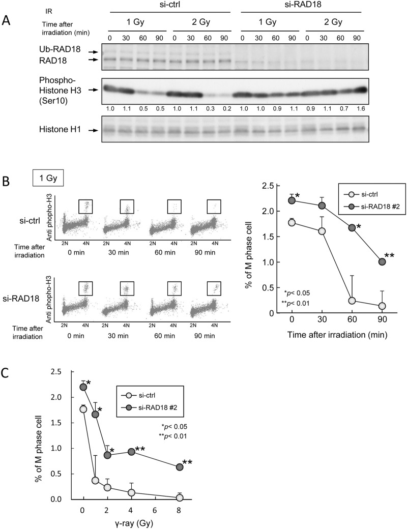 Depletion of RAD18 suppressed entry into the M phase from the G2 phase after IR exposure. (A) HT1080 cells transfected with si-ctrl or si-RAD18 were exposed to 1 or 2 Gy IR, and then lysed at the indicated time points, after irradiation. Samples were analyzed by western blotting with the indicated antibodies. (B) Cells were exposed to 1 Gy of IR, fixed with ethanol at the indicated time points after irradiation, and then immunostained with phospho-histone H3 and propidium iodide (PI). The percentage of G2/M phase cells was determined by flow cytometry. Each value represents the mean (+standard deviation) of the results from three independent experiments. (C) Cells were exposed to various doses of IR and then fixed with ethanol 60 min after irradiation. The fixed cells were immunostained with phosphor-histone H3 and PI. The percentage of G2/M phase cells was determined by flow cytometry. Each value represents the mean (+standard deviation) of the results from three independent experiments.