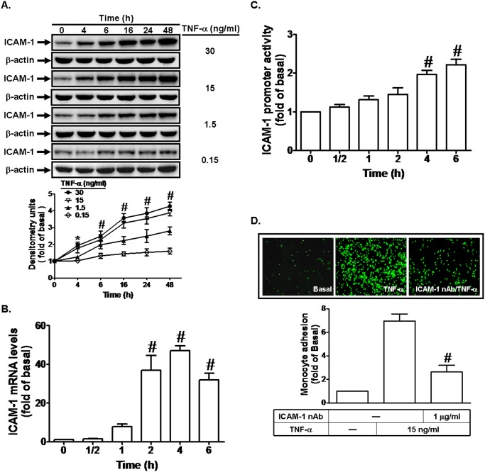 TNF-α induces ICAM-1 expression and monocyte adhesion. (A) Human RPECs were incubated with TNF-α for the indicated time intervals. The protein expression of ICAM-1 was determined by Western blot. (B, C) Cells were incubated with TNF-α (15 ng/ml) for the indicated time intervals. The mRNA levels and promoter activity of ICAM-1 were determined by real-time PCR and promoter assay, respectively. (D) RPECs were pretreated with an ICAM-1 neutralizing antibody for 1 h, and then incubated with TNF-α for 6 h. The THP-1 cells adherence was measured. Data are expressed as mean±S.E.M. of three independent experiments. * P