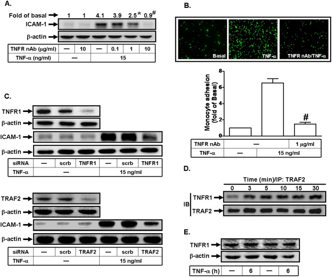 TNF-α-induced ICAM-1 expression is mediated via the formation of a TNFR1/TRAF2 complex. (A) Human RPECs were pretreated with a TNFR neutralizing antibody, and then incubated with TNF-α for 6 h. The protein expression of ICAM-1 was determined by Western blot. (B) RPECs were pretreated with the neutralizing antibody of TNFR for 1 h, and then incubated with TNF-α for 6 h. The THP-1 cells adherence was measured. (C) Cells were transfected with siRNA of scrambled, TNFR1, or TRAF2, and then incubated with TNF-α for 6 h. The protein levels of TNFR1, TRAF2, and ICAM-1 were determined by Western blot. (D) Cells were incubated with TNF-α (15 ng/ml) for various time intervals. The cell lysates were subjected to immunoprecipitation using an anti-TRAF2 antibody, and then the immunoprecipitates were analyzed by Western blot using an anti-TRAF2 or anti-TNFR1 antibody. (E) Cells were treated without or with TNF-α for 6 h. The expression of TNFR1 was determined. Data are expressed as mean±S.E.M. of three independent experiments. * P