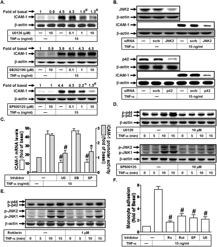 TNF-α induces ICAM-1 expression via a PKCδ/JNK1/2 signaling in human RPECs. (A) Cells were pretreated with U0126, SP600125, or SB202190 for 1 h, and then incubated with TNF-α for 6 h. The protein expression of ICAM-1 was determined by Western blot. (B) Cells were transfected with siRNA of scrambled, JNK2, or p42, and then incubated with TNF-α for 6 h. The protein levels of p42, JNK2, and ICAM-1 were determined by Western blot. (C) Cells were pretreated with U0126 (10 μM), SP600125 (10 μM), or SB202190 (10 μM) for 1 h, and then incubated with TNF-α for 4 h or 6 h. The mRNA levels and promoter activity of ICAM-1 were determined by real-time PCR and promoter assay, respectively. (D) Cells were pretreated without or with U0126 or SP600125 for 1 h, and then incubated with TNF-α for the indicated times. The levels of phospho-p42/p44 MAPK and phospho-JNK1/2 were determined by Western blot. (E) Cells were pretreated without or with Rottlerin for 1 h, and then incubated with TNF-α for the indicated time intervals. The levels of phospho-p42/p44 MAPK and phospho-JNK1/2 were determined by Western blot. (F) RPECs were pretreated with Ro318220, Rottlerin, SP600125, or U0126 for 1 h, and then incubated with TNF-α for 6 h. The THP-1 cells adherence was measured. Data are expressed as mean±S.E.M. of three independent experiments. * P