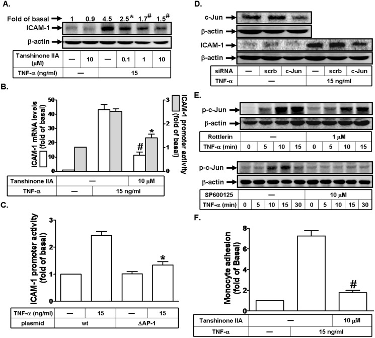 TNF-α induces ICAM-1 expression through a c-Jun pathway. (A) Human RPECs were pretreated with Tanshinone IIA for 1 h, and then incubated with TNF-α for 6 h. The protein expression of ICAM-1 was determined by Western blot. (B) Cells were pretreated with Tanshinone IIA (10 μM) for 1 h, and then incubated with TNF-α for 4 h or 6 h. The mRNA levels and promoter activity of ICAM-1 were determined by real-time PCR and promoter assay, respectively. (C) Cells were transfected with wild-type ICAM-1 promoter-luciferaase or mutant ICAM-1 promoter-luciferaase (ΔAP-1), and then incubated with TNF-α (15 ng/ml) for 6 h. The ICAM-1 promoter activity was determined in the cell lysates. (D) Cells were transfected with siRNA of scrambled or c-Jun, and then incubated with TNF-α for 6 h. The protein levels of c-Jun and ICAM-1 were determined by Western blot. (E) Cells were pretreated without or with Rottlerin or SP600125 for 1 h, and then incubated with TNF-α for the indicated time intervals. The levels of phospho-c-Jun were determined by Western blot. (F) RPECs were pretreated with Tanshinone IIA for 1 h, and then incubated with TNF-α for 6 h. The THP-1 cells adherence was measured. Data are expressed as mean±S.E.M. of three independent experiments. * P