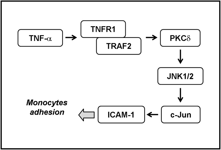 Schematic representation of the signaling pathways involved in the TNF-α-induced ICAM-1 expression in RPECs. TNF-α-induced ICAM-1 expression and monocyte adhesion are mediated through a TNFR1/TRAF2/PKCδ/JNK1/2/c-Jun signaling pathway in human RPECs.