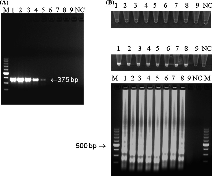 Analytical sensitivity of LAMP and PCR for MS detection. a PCR detection of vlhA fragment. The product length is 375 bp and was indicated with an arrow . b LAMP. Visible colour change in MS-positive samples, greenish fluorescence under UV light and specific ladder-like patter after gel electrophoresis. Descriptions M molecular length marker GeneRuler™ 100 bp DNA Ladder Plus (Thermo-scientific, Waltham, Massachusetts, USA), 10-fold dilutions of reference M. synoviae strain (ATCC 25204): 1 10 6 CFU/ml, 2 10 5 CFU/ml, 3 10 4 CFU/ml, 4 10 3 CFU/ml, 5 10 2 CFU/ml, 6 10 1 CFU/ml, 7 10 0 CFU/ml, 8 10 −1 CFU/ml, 9 10 −2 CFU/ml, and NC negative control—DNA extracted from non-inoculated growth medium