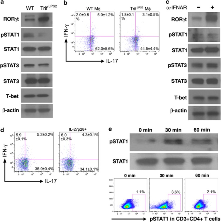 Interleukin (IL)-27p28-induced STAT1 activation regulates Th17-cell differentiation and plasticity. ( a ) Western blot analysis of transcription factors in wild-type (WT) naive T cells after co-culturing with MΦs in the presence of cecal bacterial antigen (CBA). β-actin was used as a loading control. ( b ) Flow cytometry (FCM) analysis of IL-17 and interferon (IFN)-γ in STAT −/− naive T cells after in vitro differentiation with WT and Trif LPS2 MΦ in the presence of CBA. Representative results from five independent experiments are shown ( n =4 each, mean±s.e.m.). ( c ) Western blot analysis of transcription factors in WT naive T cells after co-culturing with WT MΦs and CBA in the presence of anti-IFNAR1 antibody. ( d ) FCM analysis of IL-17 and IFN-γ in STAT1 −/− naive T cells after co-culturing with Trif LPS2 MΦs in the presence of CBA and recombinant IL-27p28 (15 ng ml −1 ). Representative results from two independent experiments are shown ( n =4 each, mean±s.e.m.). ( e ) Western blot (top panel) and FCM (bottom panel) analysis of pSTAT1 in WT splenocytes after stimulation with IL-27p28 (15 ng ml −1 ) for the indicated period. For the FCM analysis, splenocytes were stained with CD3, CD4, and pSTAT1 after IL-27p28 stimulation. pSTAT1-positive cells in CD3 + CD4 + splenocytes are demonstrated. Results are representative of two independent experiments ( n =4 each, mean±s.e.m.). A full color version of this figure is available at the Mucosal Immunology journal online.