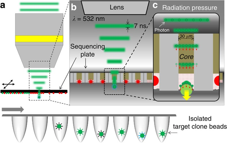 Schematic diagram of our focused pulse laser radiation pressure-driven non-contact target bead sniper system. ( a ) A motorized stage moves the sequencing plate and locates the target clone bead to the focusing spot of the pulse laser based on the real-world location information from our diffusion-like local mapping algorithm. Target clone beads were isolated into a PCR tube to directly utilize sequence-verified oligonucleotides on the bead surface. ( b ) The selectively etched fibre bundle structure of the 454 NGS substrate is well suited for optical releasing. The etched core region partially isolates a single clone bead while the remnant core delivers serial optical signals of pyrosequencing to the CCD. We used biocompatible 532-nm visible light to illuminate the side opposite to the bead-containing side and to couple the core region to carry the photon energy to the target bead penetrating through the sequencing plate. A nanosecond pulse effectively exerts a radiation force to target the bead without physical damage (longer pulse) or simple locoregional ablation (shorter pulse). ( c ) Since the fibre only carries light in the core region and otherwise attenuates light, it also minimizes the horizontal and vertical positioning error. This approach allows robust clone bead targeting without expensive optical and mechanical instruments. A single pulse with energy of ~50 μJ applies 0.25 μN of radiation force for target bead retrieval.