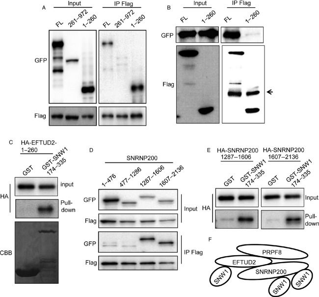 The N-terminus of SNW1 and the C-terminus of SNRNP200 directly associate with the SKIP domain of SNW1. (A) The interaction of Flag-SNW1 with full-length as well as deletion mutants of GFP-tagged EFTUD2 in 293T cells was examined by immunoprecipitation with an anti-Flag antibody. (B) The interaction of GFP-SNRNP200 with Flag-tagged full-length or 1-260 EFTUD2 in 293T cells was examined by immunoprecipitation with an anti-Flag antibody. The arrow indicates the heavy chain of the antibody. (C) In vitro-translated HA-tagged EFTUD2-1-260 was mixed with GST or GST-fused SNW1-174-335 bound to glutathione agarose beads and affinity precipitated. The precipitates were immunoblotted with the indicated antibodies. (D) The interaction of Flag-SNW1 with GFP-tagged deletion mutants of SNRNP200 in 293T cells was examined by immunoprecipitation with an anti-Flag antibody. (E) In vitro-translated HA-tagged deletion mutants of SNRNP200 were mixed with GST or GST-fused SNW1-174-335 bound to glutathione agarose beads and affinity precipitated. The precipitates were immunoblotted with the indicated antibodies. (F) Schematic representation of SNW1 association with EFTUD2 and SNRNP200.